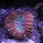 Red Lobophyllia at Ecoxotic