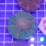 ReefKoi Fruity Pebbles Plate Coral