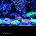 Scolymia Collection at World Wide Corals