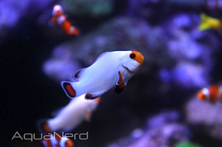 Sustainable Aquatics Wyoming White Clownfish