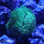 Torch Coral at Kessil