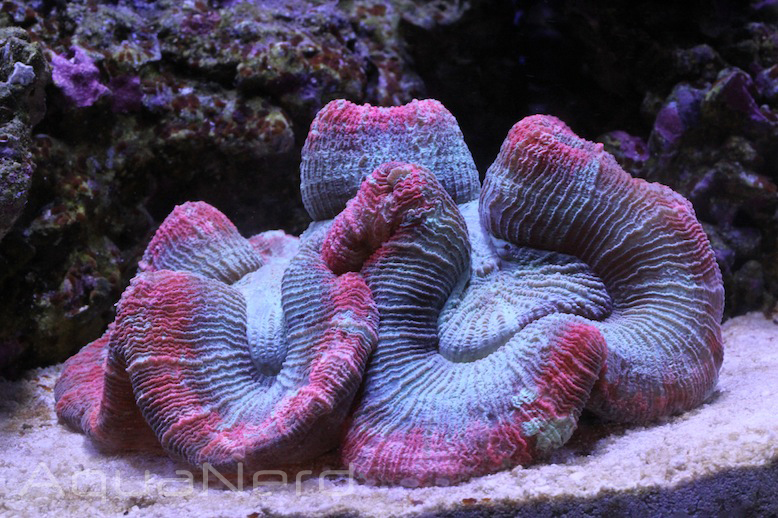 Pink and Teal Trachyphyllia Coral