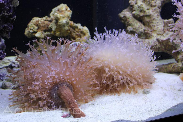 Sea Pen in Aquarium