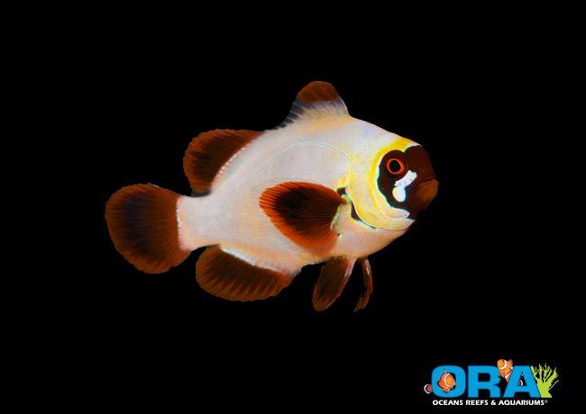 ORA Gold Nugget Maroon Clownfish