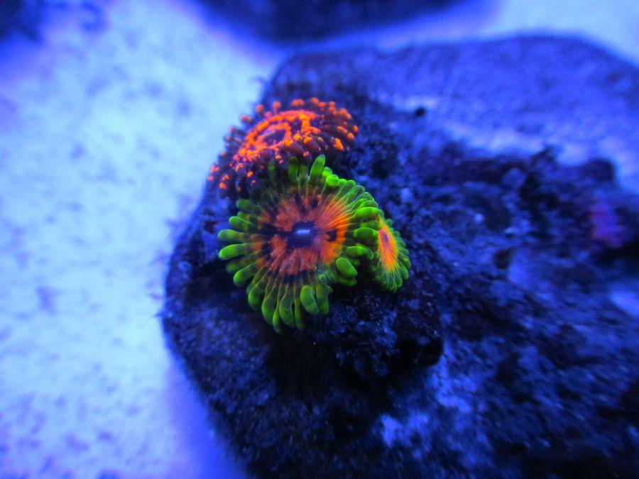 ReefKoi Corals Hallucination Paly