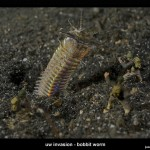 UW Invasion - Bobbit Worm by Jason Isley