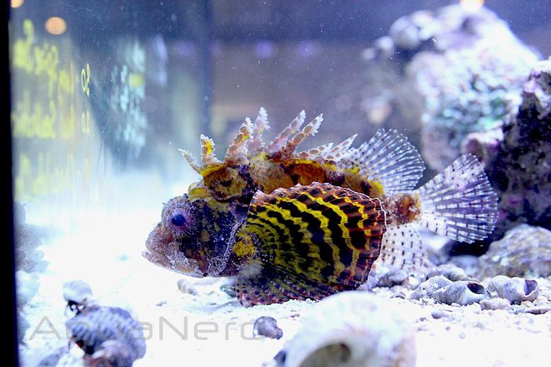 Yellow Fuzzy Dwarf Lionfish