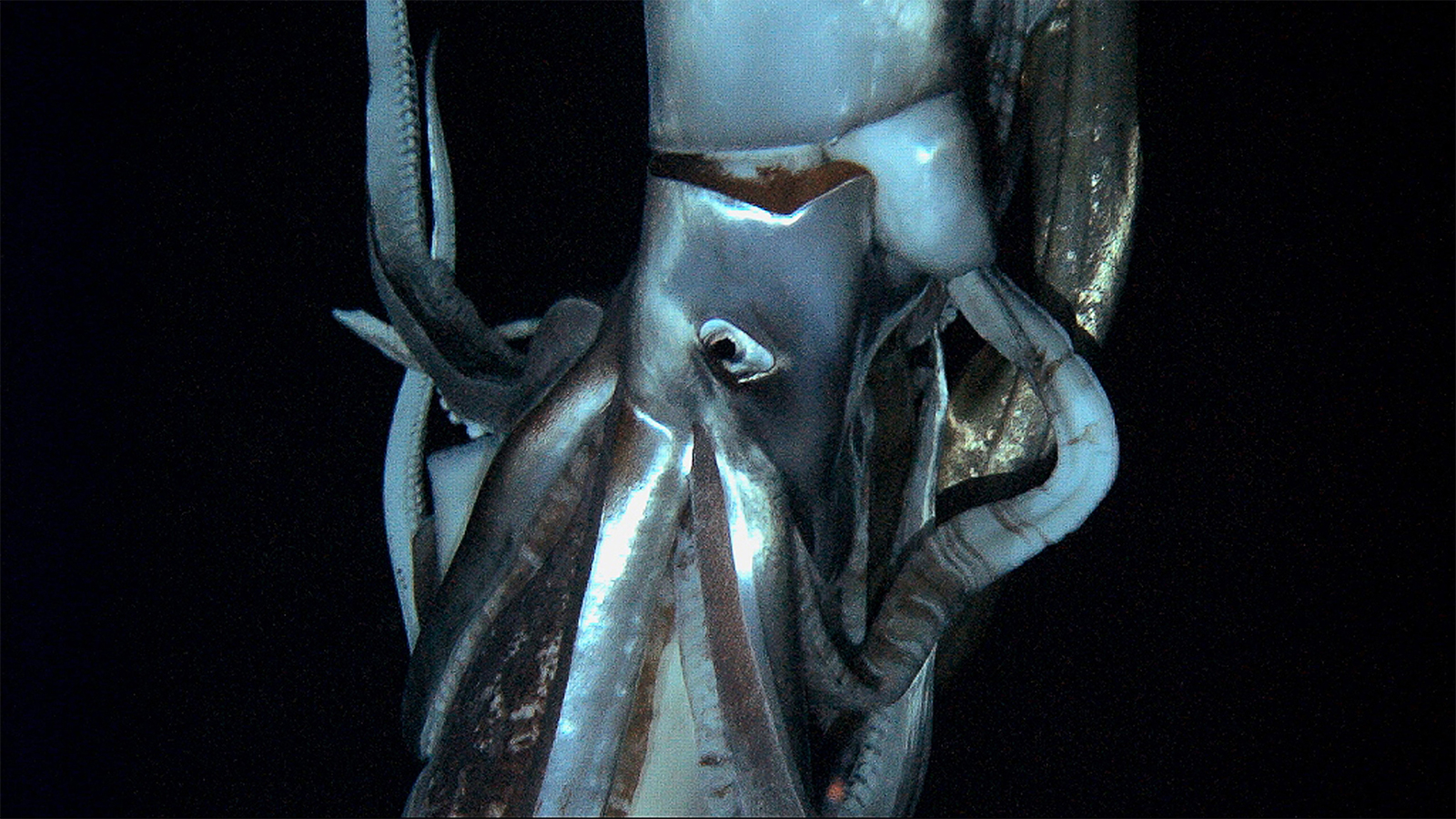 Architeuthis Giant Squid