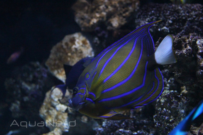 Annularis Angelfish