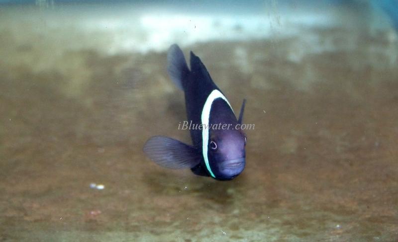 Blue Tomato Clownfish