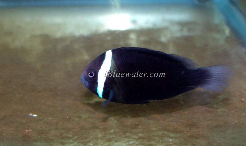 Navy Blue Tomato Clownfish