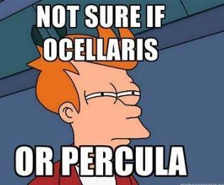 Ocellaris or Percula