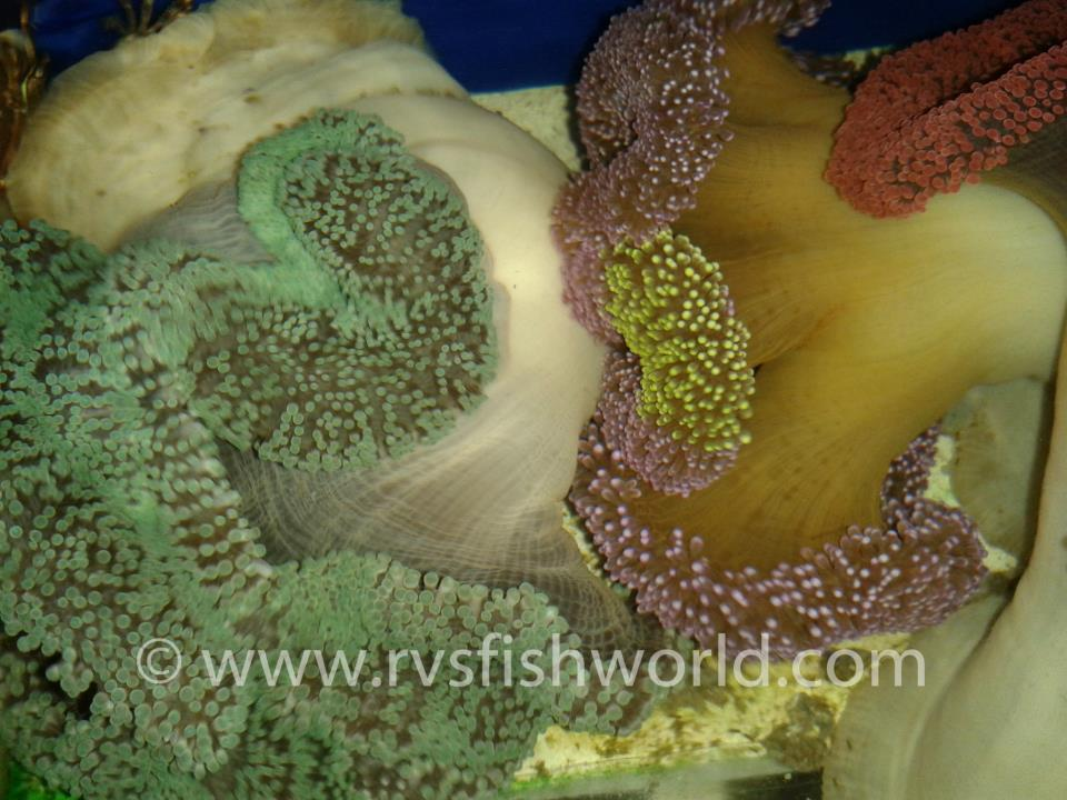 Purple Carpet Anemone With Neon Green Lobe At Rvs Fish