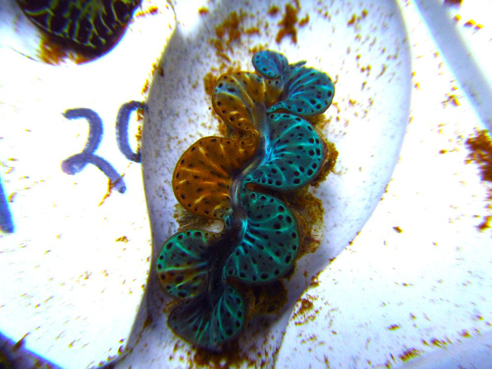 Two Face Maxima Clam