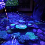 Large Coral Colonies at NextWave