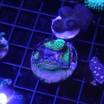 Mixed Montipora Frag at NextWave