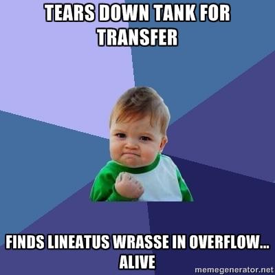 Success Kid Lineatus Wrasse
