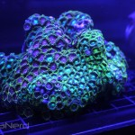 Zoanthid Rock at NextWave