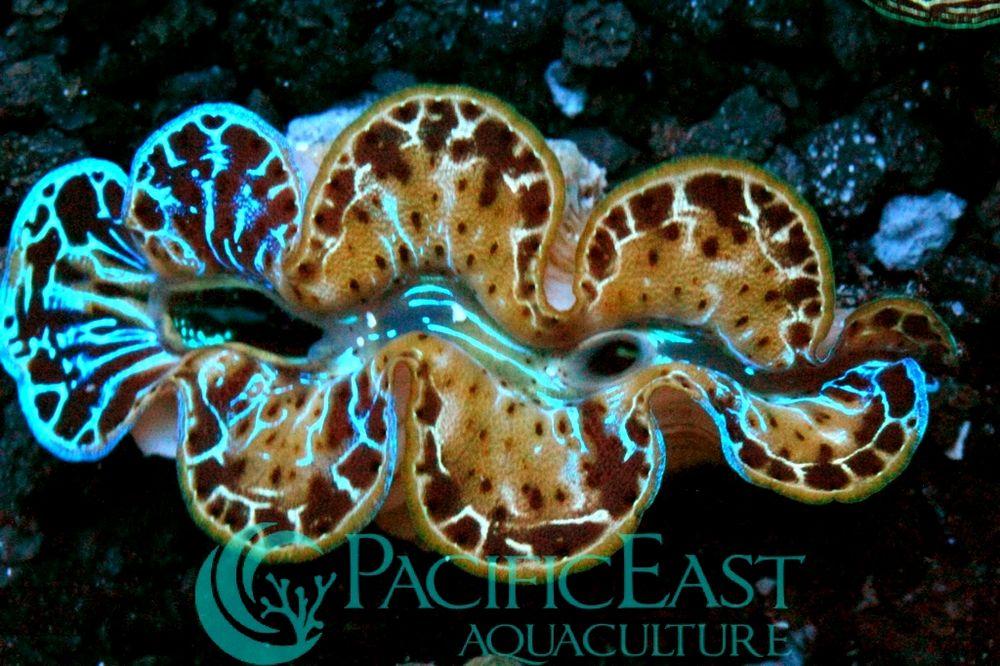 Chimera Tridacna clam