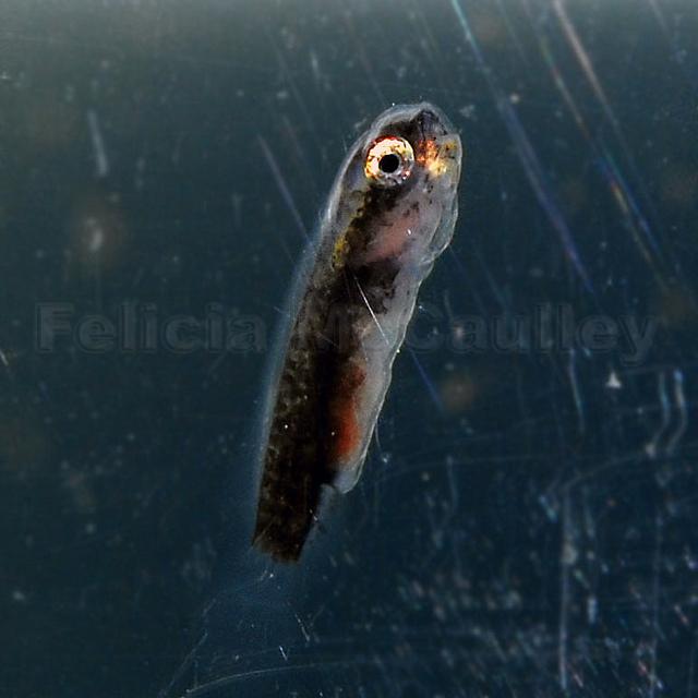Felicia McCaulley Gobiesox punctulatus Fry