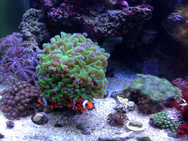 Frogspawn with Clownfish