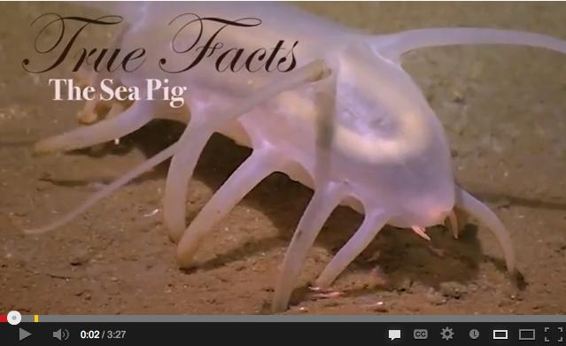 True Facts Sea Pig