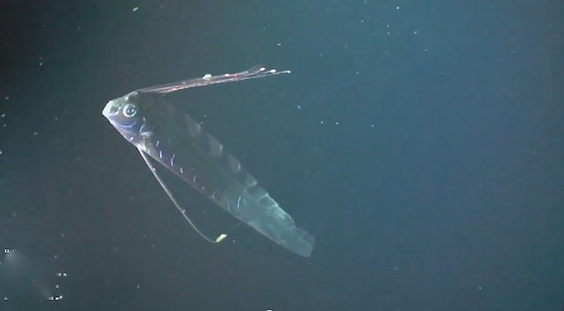 Oarfish Footage