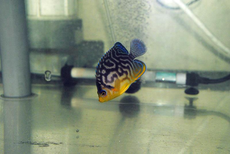 Paracentropyge multifasciata x venustus Hybrid Angelfish