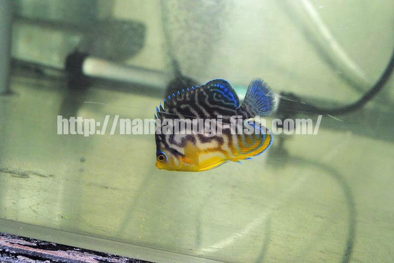 Paracentropyge multifasciatus x venustu Angelfish