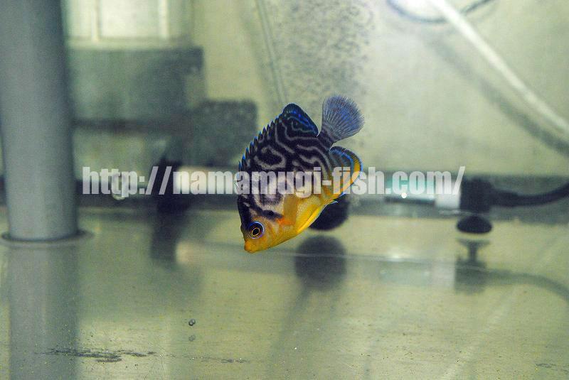 Paracentropyge multifasciatus x venustus Hybrid Angelfish