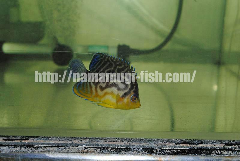 Paracentropyge venustus x multifasciatus Hybrid Angelfish