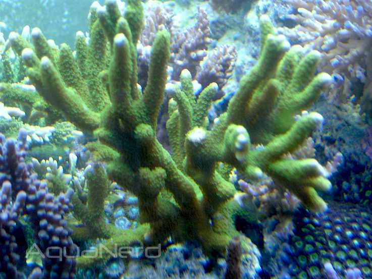 Green Montipora digitata