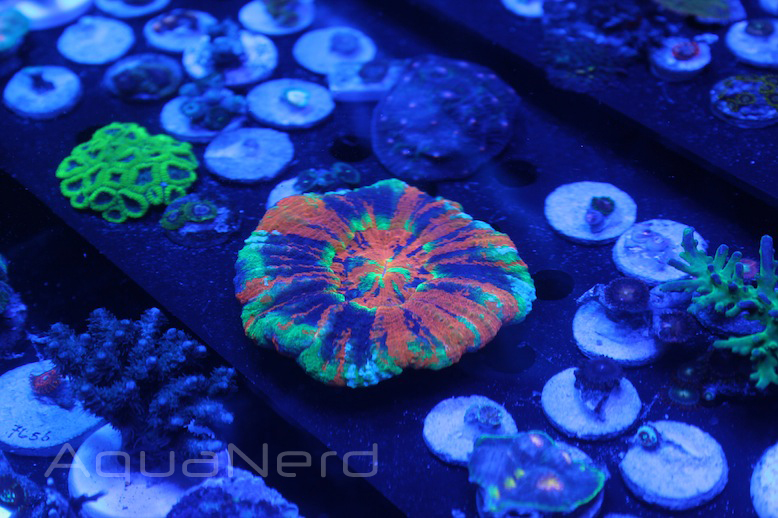 Beautiful Corals Master Scolymia
