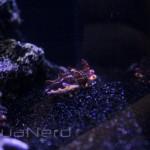 Captive Bred Flamboyant Cuttlefish
