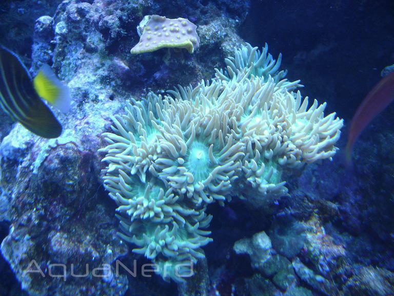 Green Duncan Coral ADG