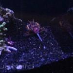 LiveAquaria Captive Bred Flamboyant Cuttlefish
