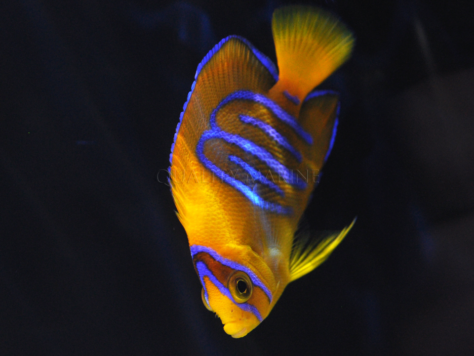 Quality Marine Captive Bred Clarion Angel