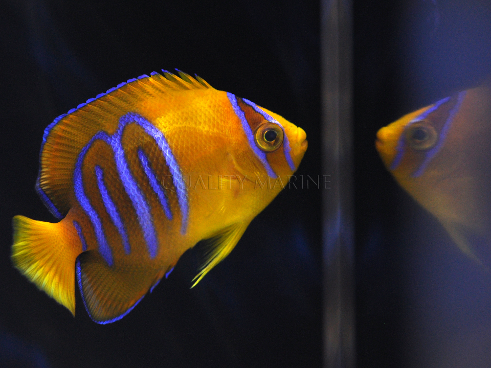 Quality Marine Captive Bred Holacanthus clarionensis