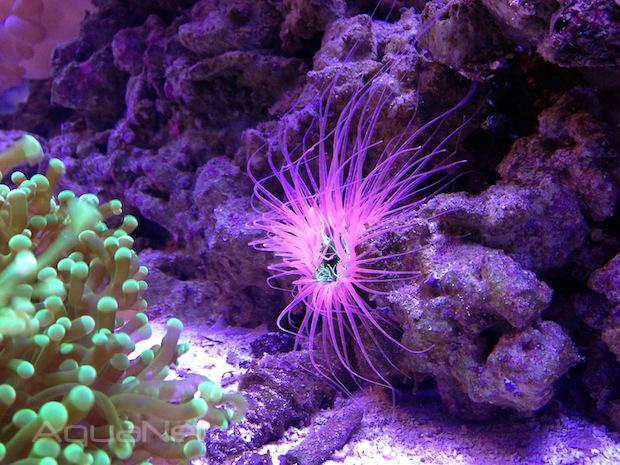 Fish Gallery Tube Anemone