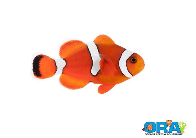 ORA Blood Orange Clown