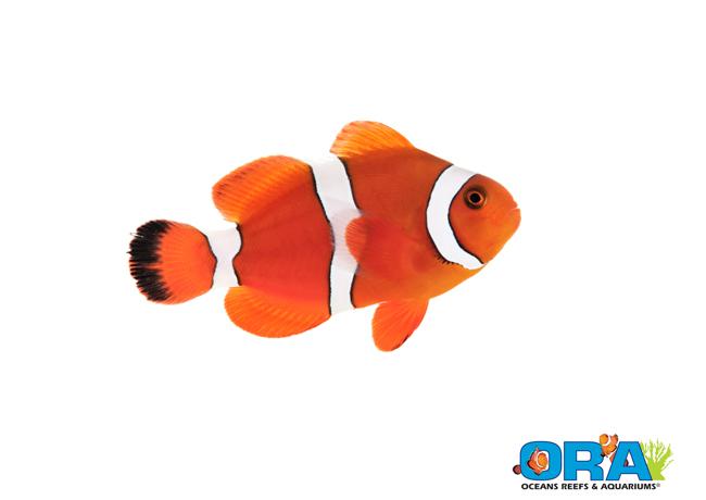 ORA Blood Orange Clownfish
