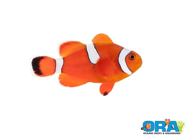 ORA Blood Orange Hybrid