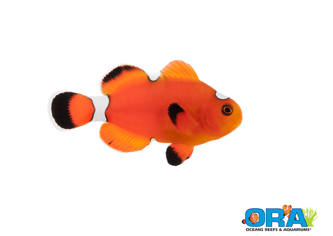 ORA Extreme Misbar Blood Orange Clownfish