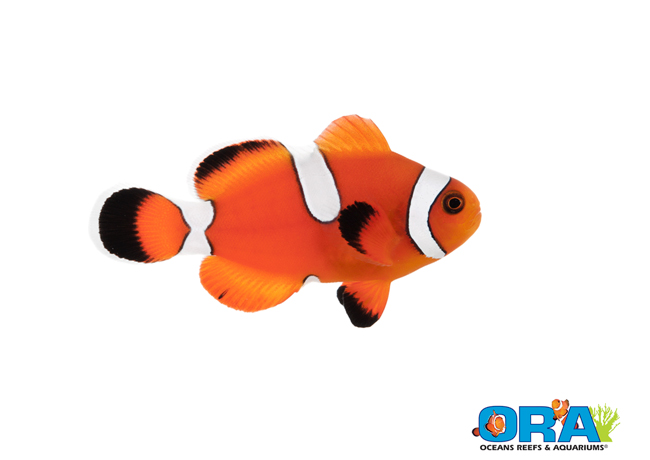ORA Misbar Blood Orange Clownfish