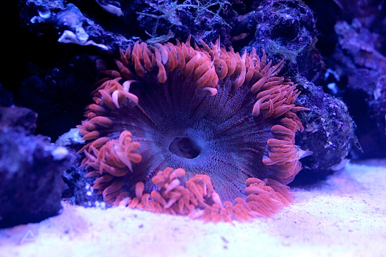 Red Flower Anemone