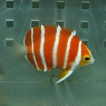 Blue Harbor Peppermint Angelfish