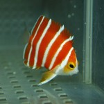 Blue Harbor Peppermint Angelfish