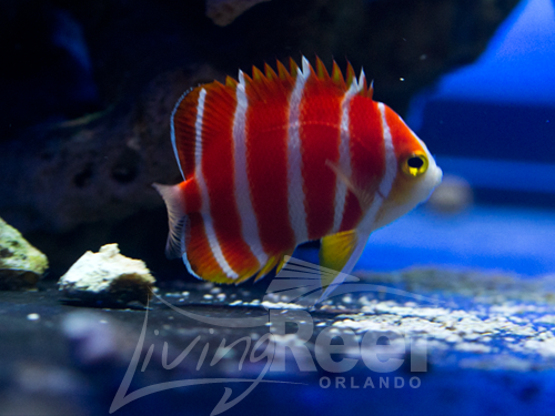 LRO Peppermint Angelfish