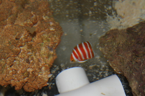 NYAquatic Peppermint Angelfish
