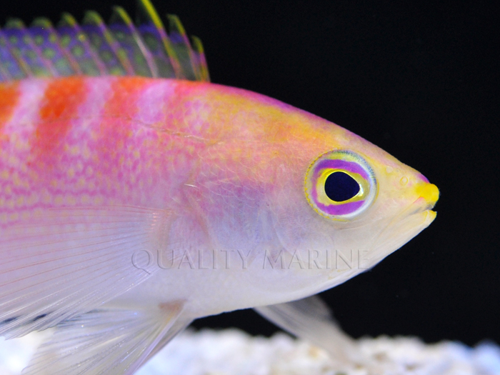 New Anthias Species New Caledonia Quality Marine